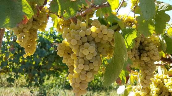 uvas-vindimas-vinhos-verdes-1422x800